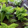 medicinal plant